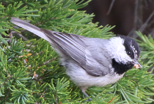 Chickadee - Crater Lake OR - 3.PNG