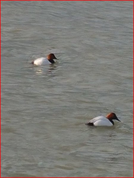Canvasback - 3.JPG