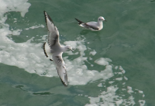 Gull - Niagara Falls ON - 1.PNG