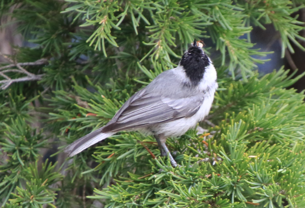 Chickadee - Crater Lake OR - 2.PNG