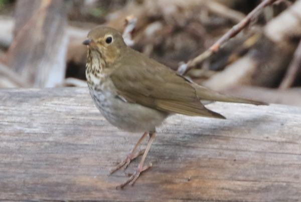 Thrush - 20190622 - Glacier National Park MT - 5623.PNG