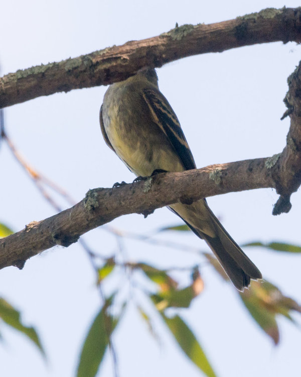 Eastern Wood-Pewee HVT-7220478.jpg