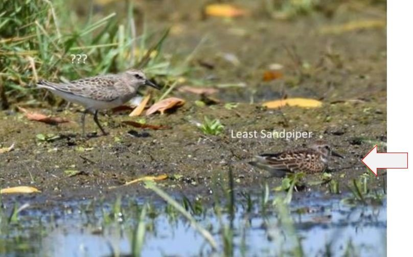 Least Sandpiper from whatbird.JPG