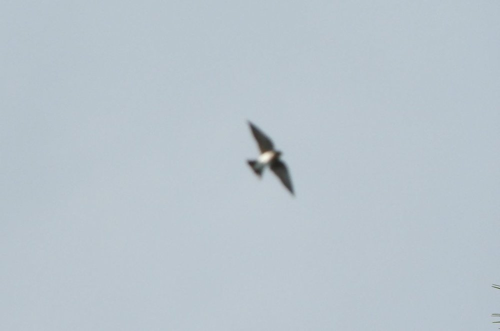 swallow sp 3 8-17-19.JPG