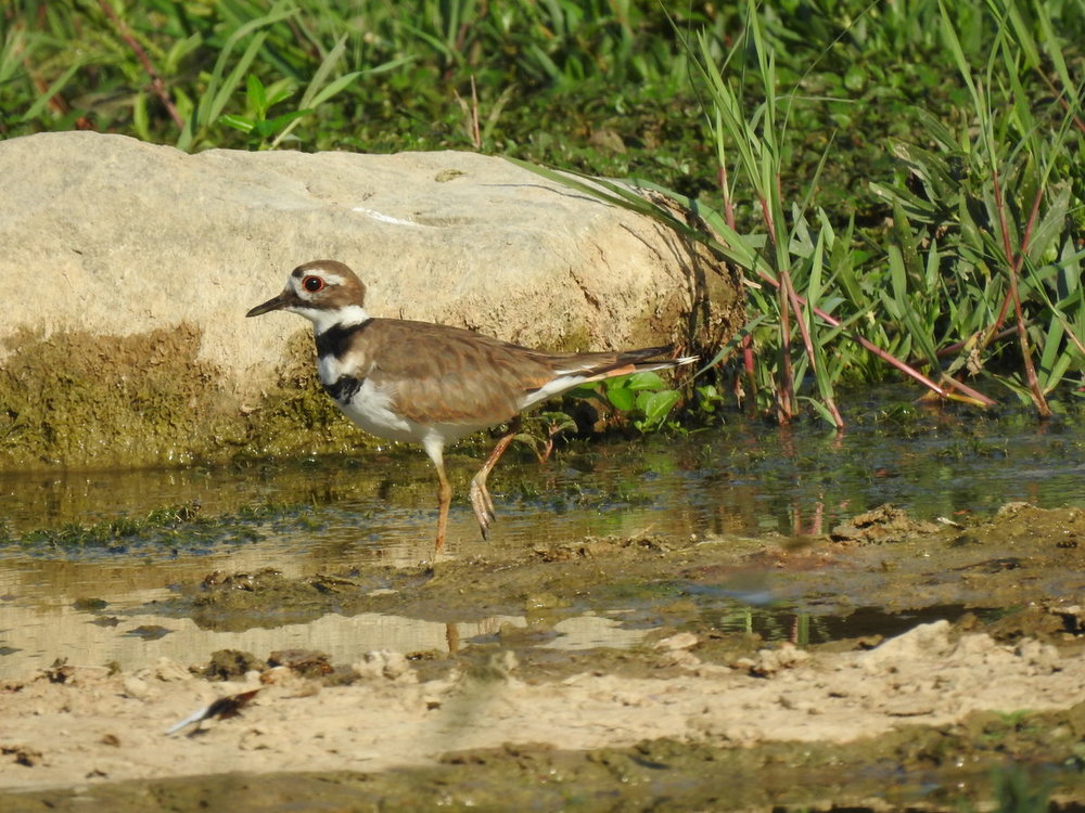 killdeer (2).JPG