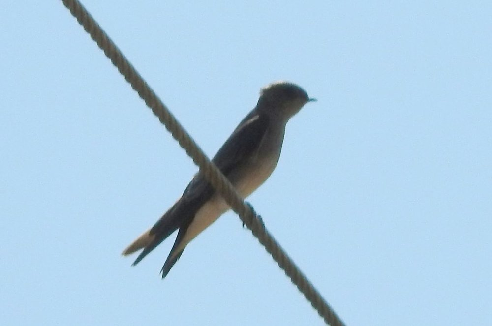 swallow sp 2 8-17-19.JPG