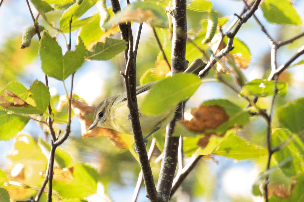 Vireo for ID - Warbling - Philly.jpg