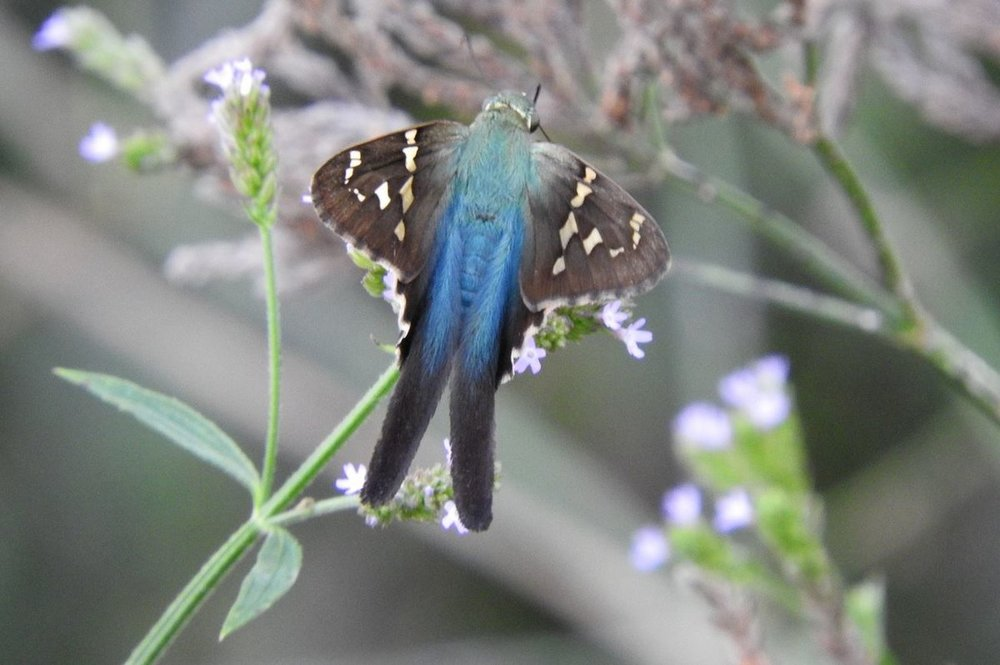 Long-tailed Skipper 1 9-29-19.JPG