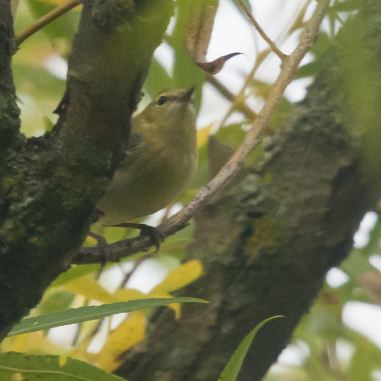 Orange-crowned Warbler HVT-7222103.jpg