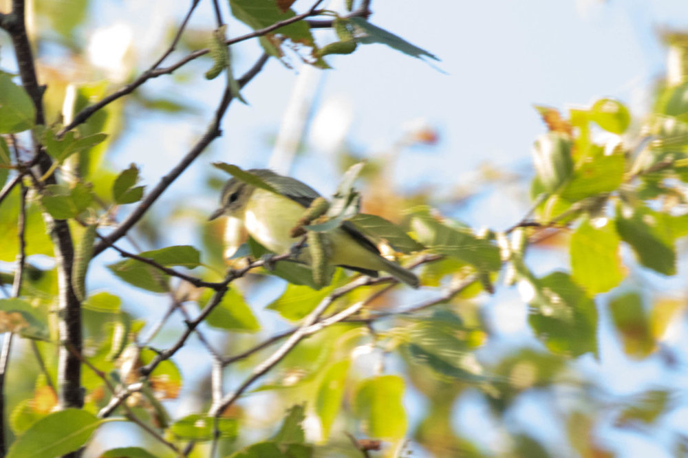 Warbling Vireo for ID.jpg