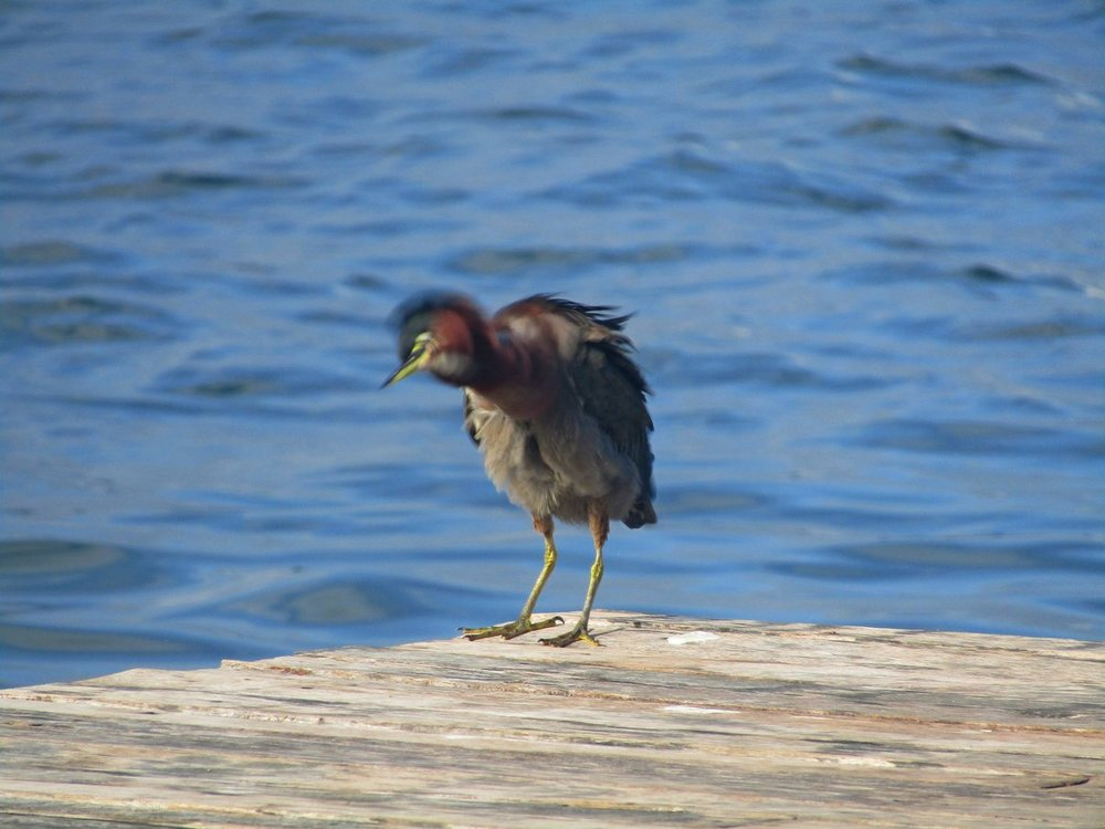 Green Heron shaking small.JPG