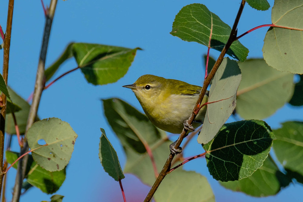Orange-crowned Warbler 2.jpg