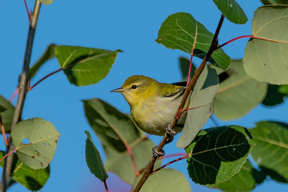 Orange-crowned Warbler.jpg