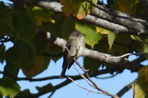 Flycatcher_01.JPG