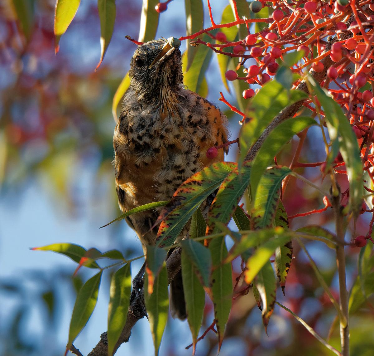 Bird in my backyard in Palo Alto (Flicker? - Help Me ...