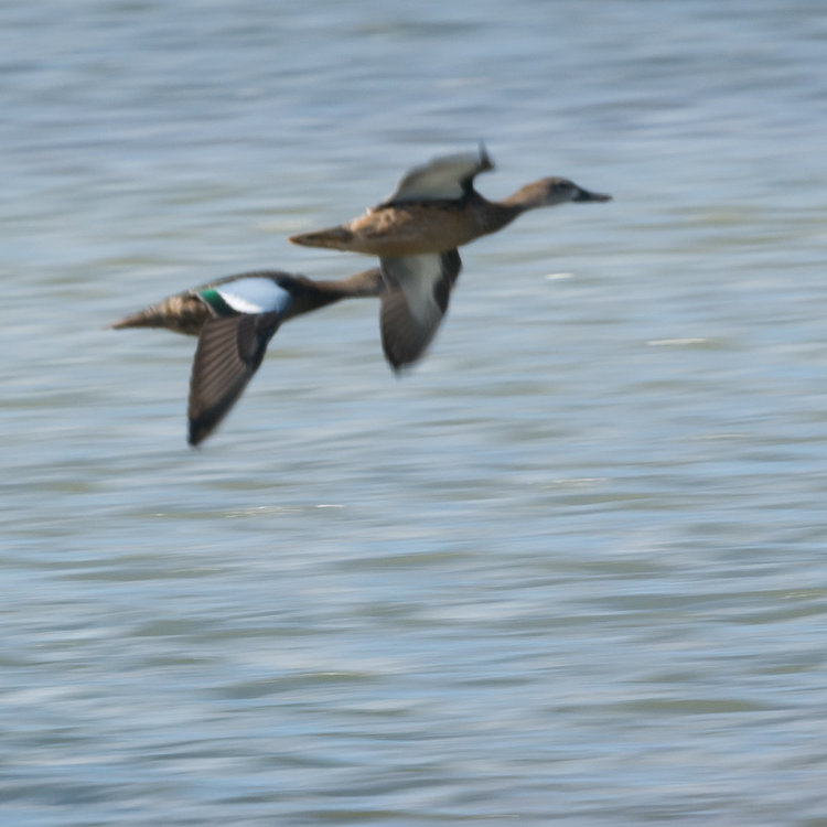 Blue-winged Teal Everett-7221097.jpg