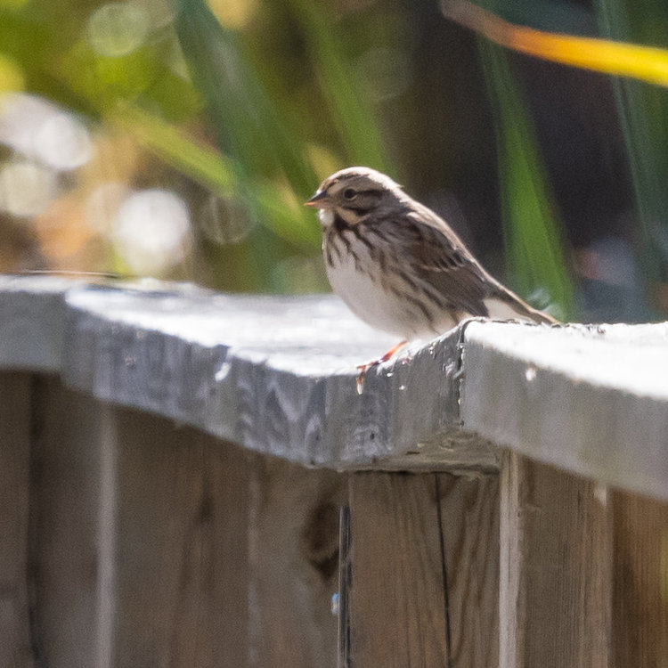 Savannah Sparrow HVT-751581.jpg