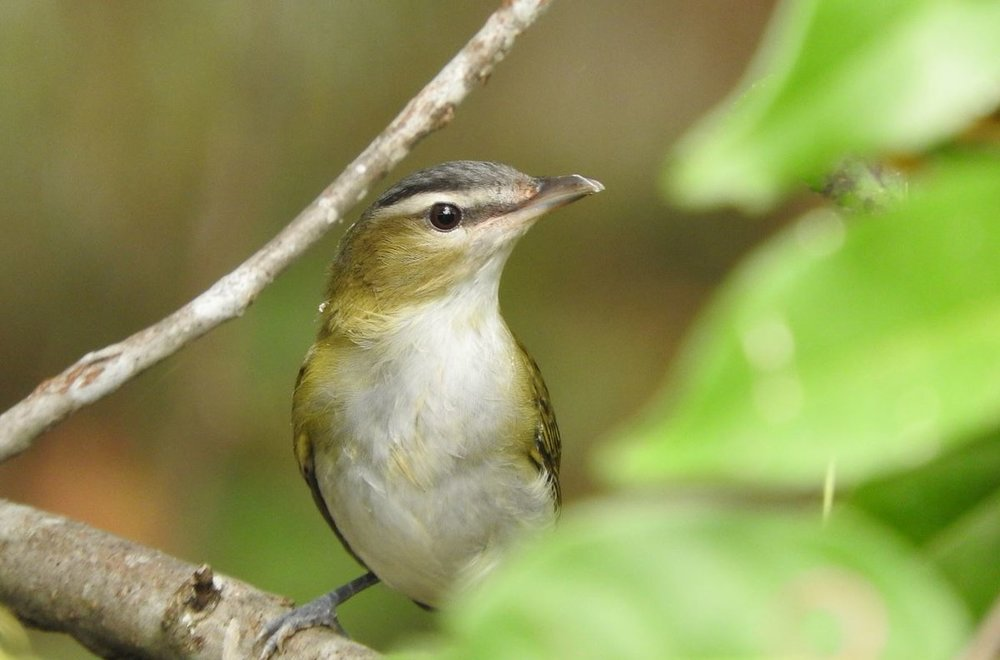 Red-eyed Vireo 1 10-8-19.JPG