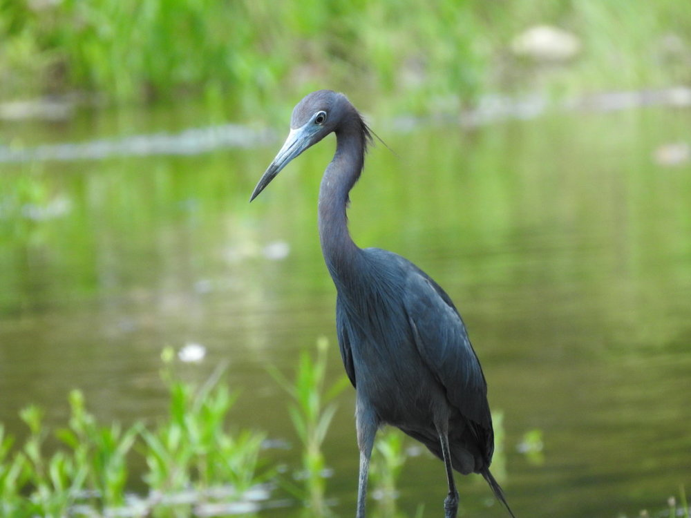 heron, little blue (8).JPG