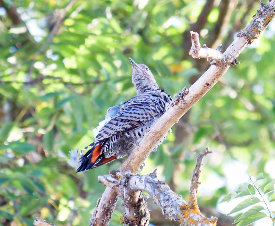 NorthernFlicker_Identification.jpg