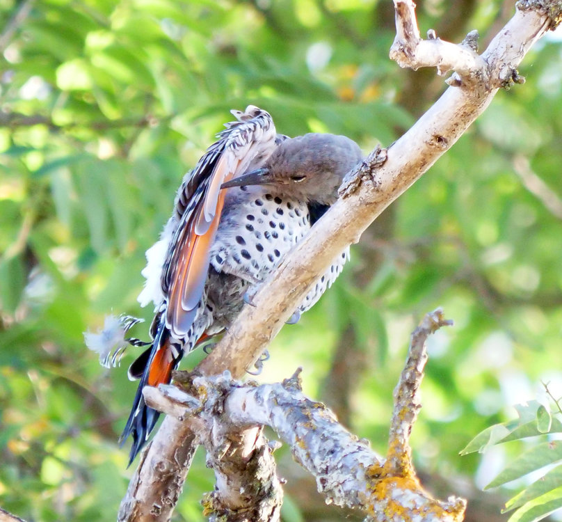NorthernFlicker_Identification_2.jpg