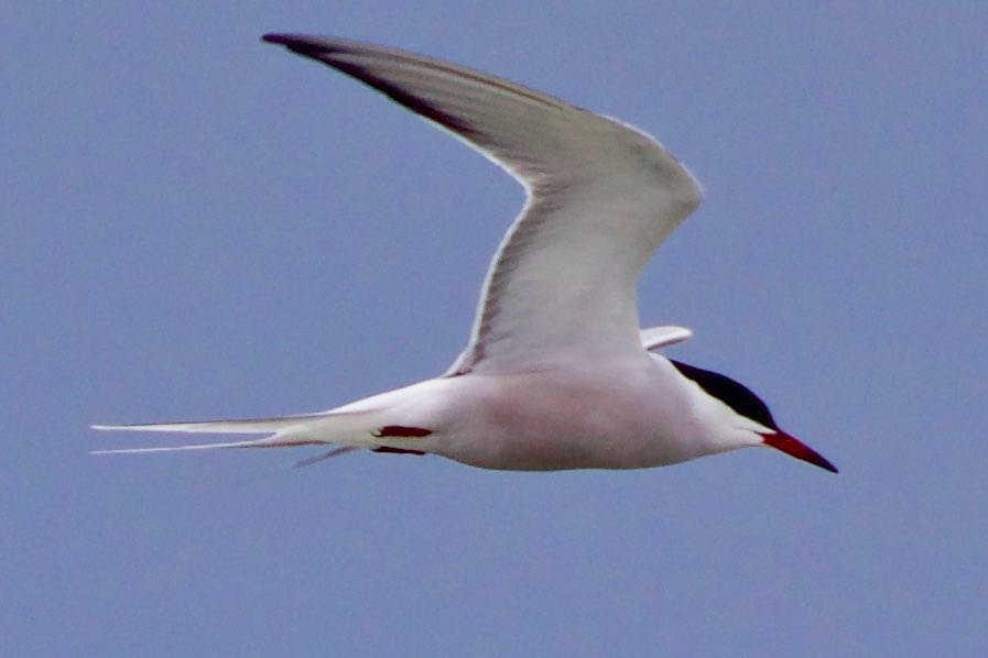 Arctic Tern with 93% confidence.jpg
