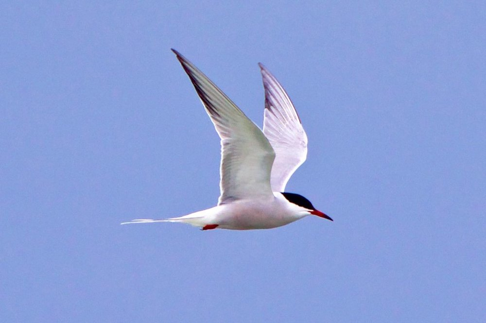 Common or Arctic Tern ???.jpg