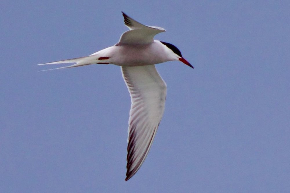 Common or Roseate Tern ???.jpg
