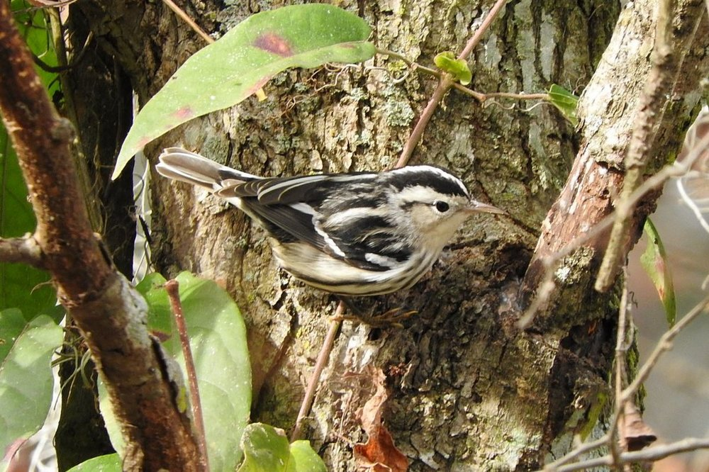 Black and White Warbler 12-9-19.JPG