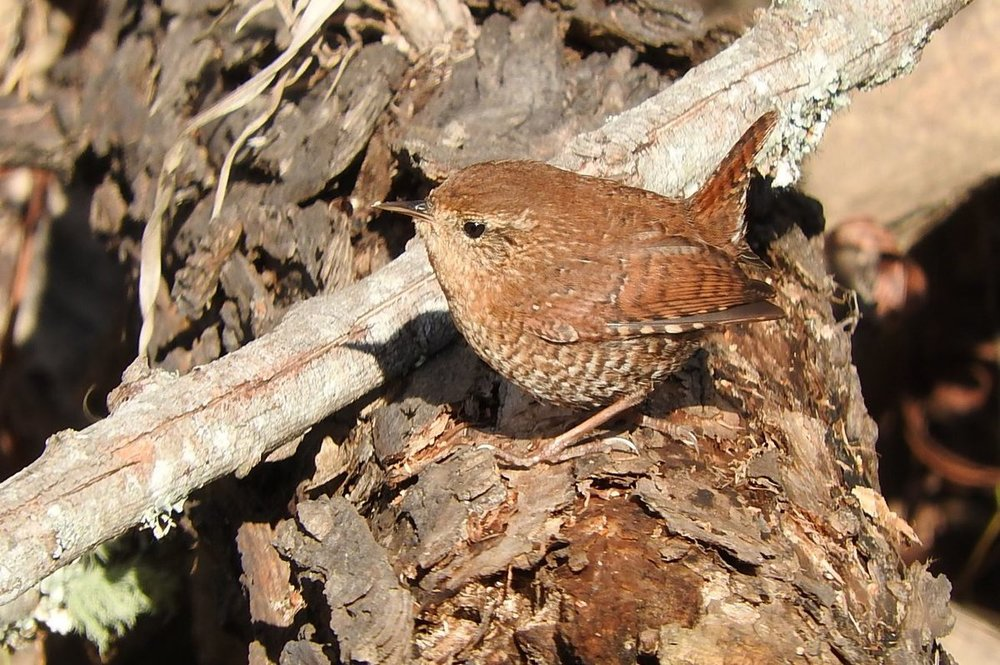 Winter Wren 12-3-19.JPG