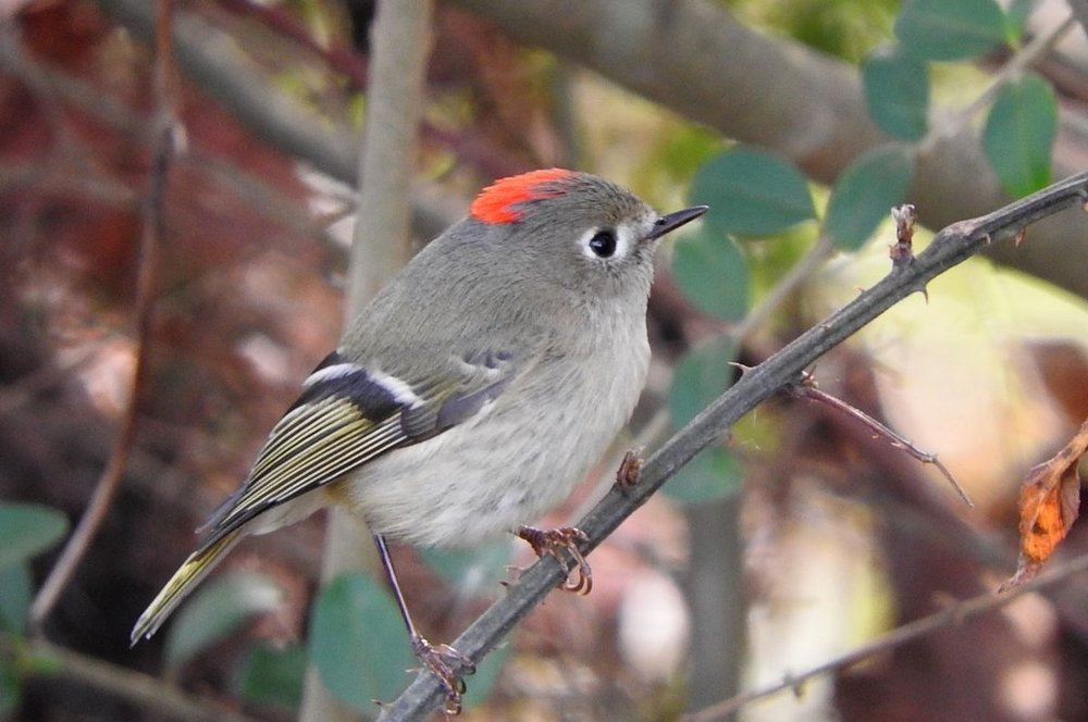 Ruby-crowned Kinglet 12-12-19.JPG