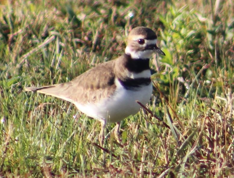 Killdeer3.JPG