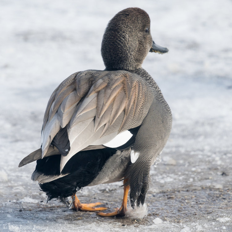 Gadwall droopy wings HVT-754426.jpg