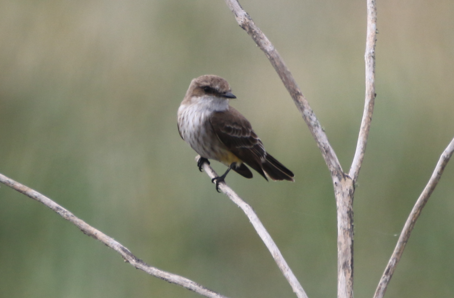 Phoebe or Flycatcher - Lake Apopka FL.PNG