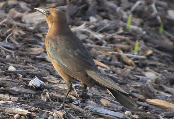 Boat Tailed Grackle - Florida.PNG
