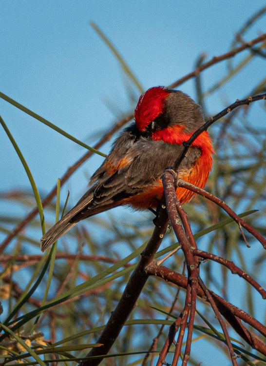 Vermillion Flycatcher 7.jpg
