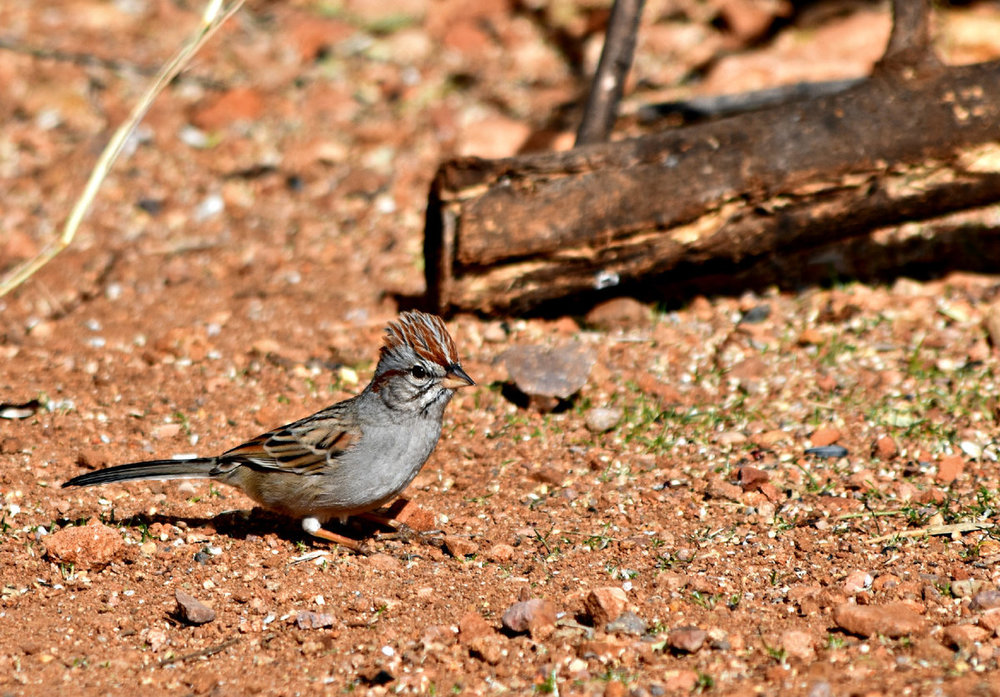 Rufous-Winged Sparrow - Copy.jpg