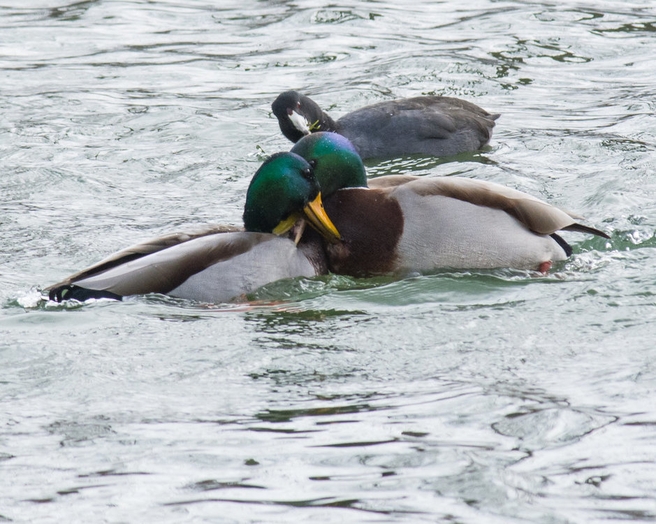 Coot and Mallard fight 2 HVT-7207751.jpg