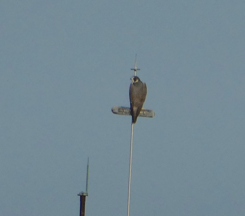 Collared Forest Falcon ???? (2).jpeg