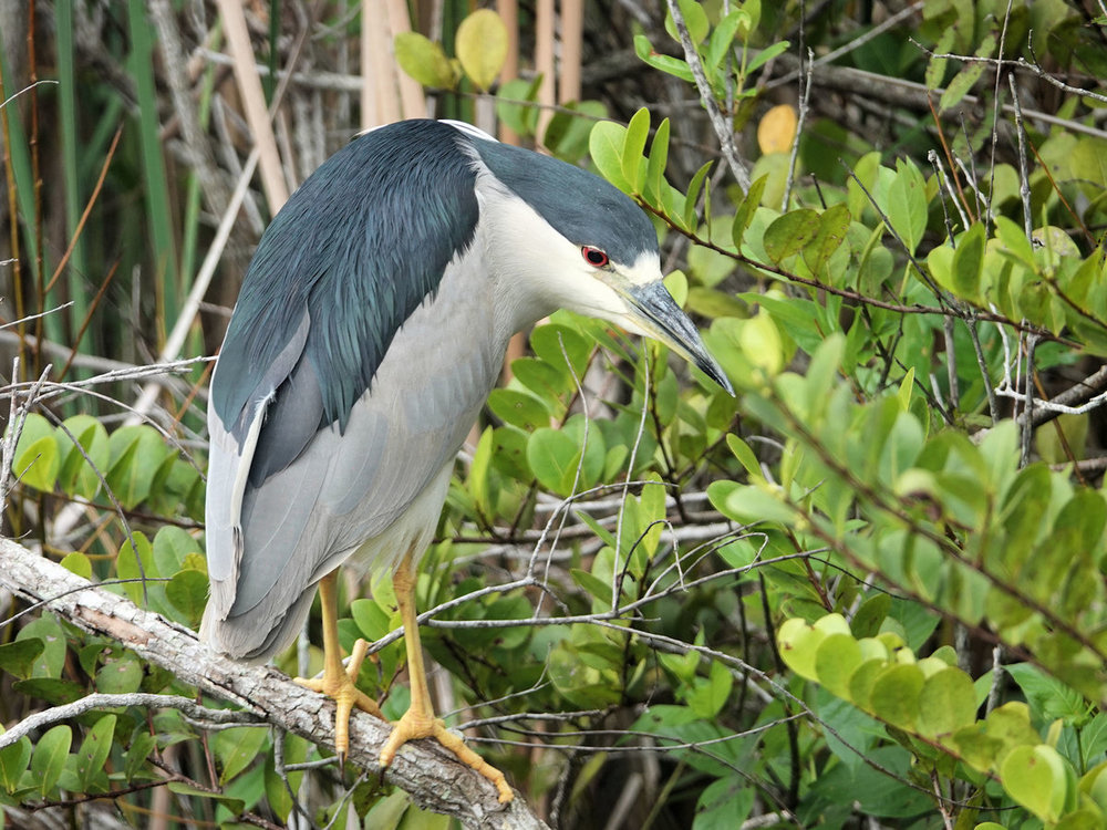 168573206_Black-crownedNight-heron-EvergladesNPFL(1)-2-18-20small.thumb.jpg.63b47dd1e8d1cc1e756d2a38aefe484a.jpg