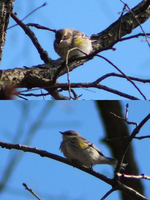 2004202926_pinewarbler-down.JPG.2d46848d180f9f98a68be1bb62a4cc5d.JPG