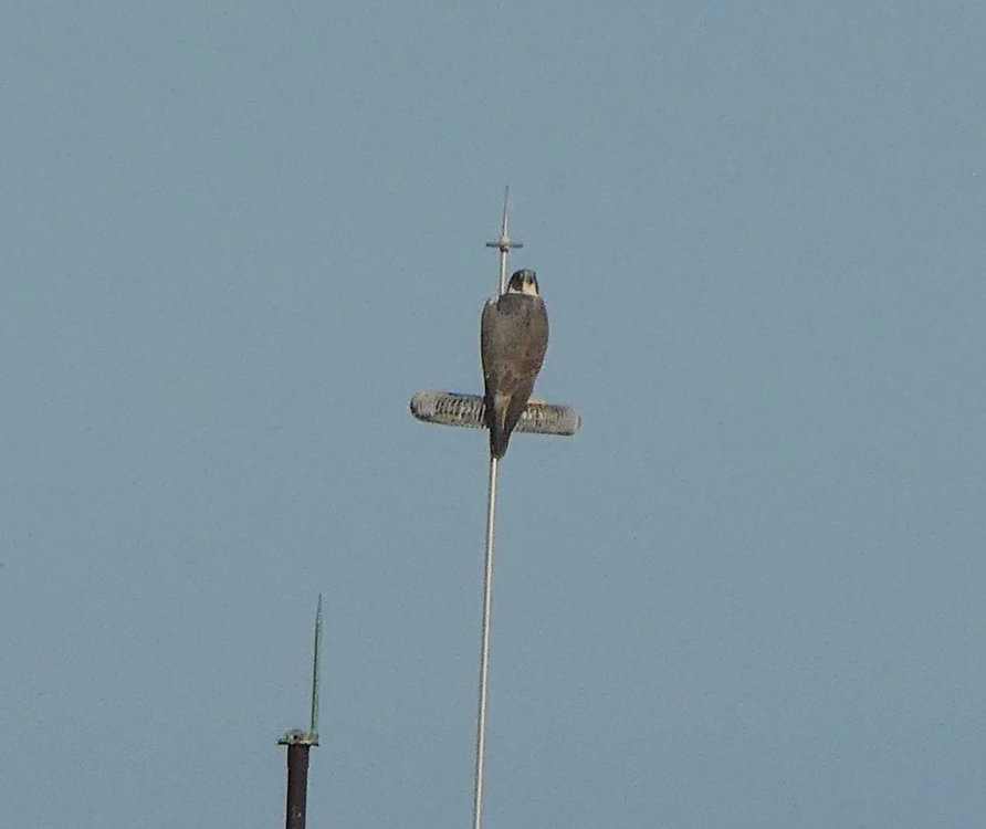 Collared Forest Falcon ???? (3).jpeg