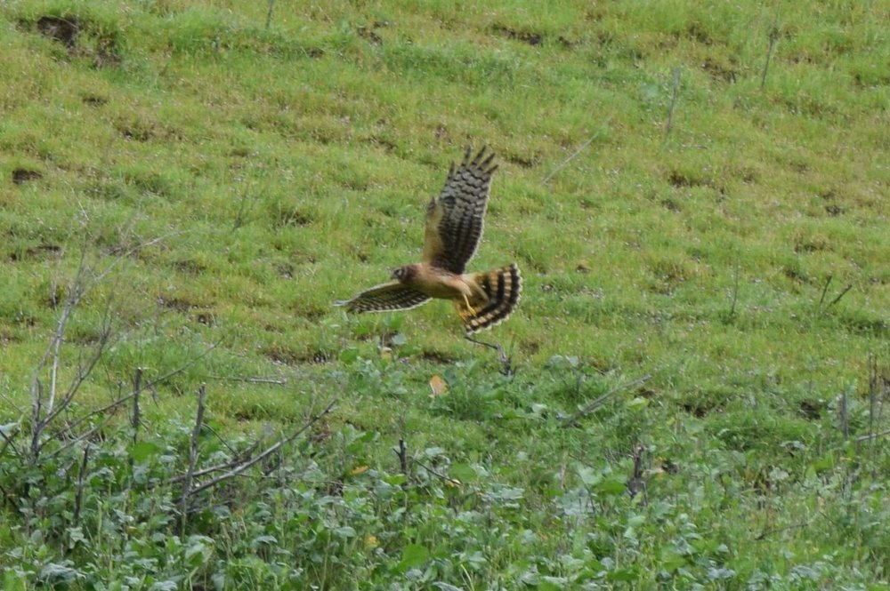 Circus hudsonius Northern Harrier FILE0870.jpg