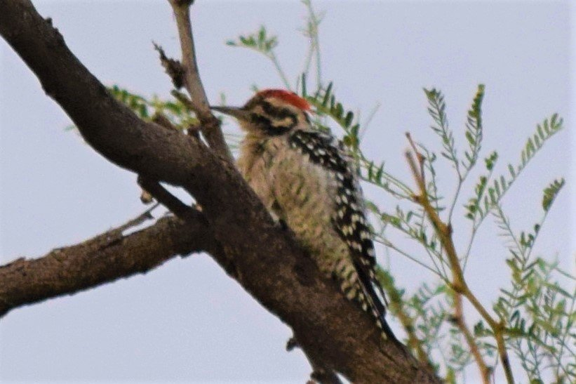 Dryobates scalaris Ladder-backed Woodpecker DSC_2047.jpg
