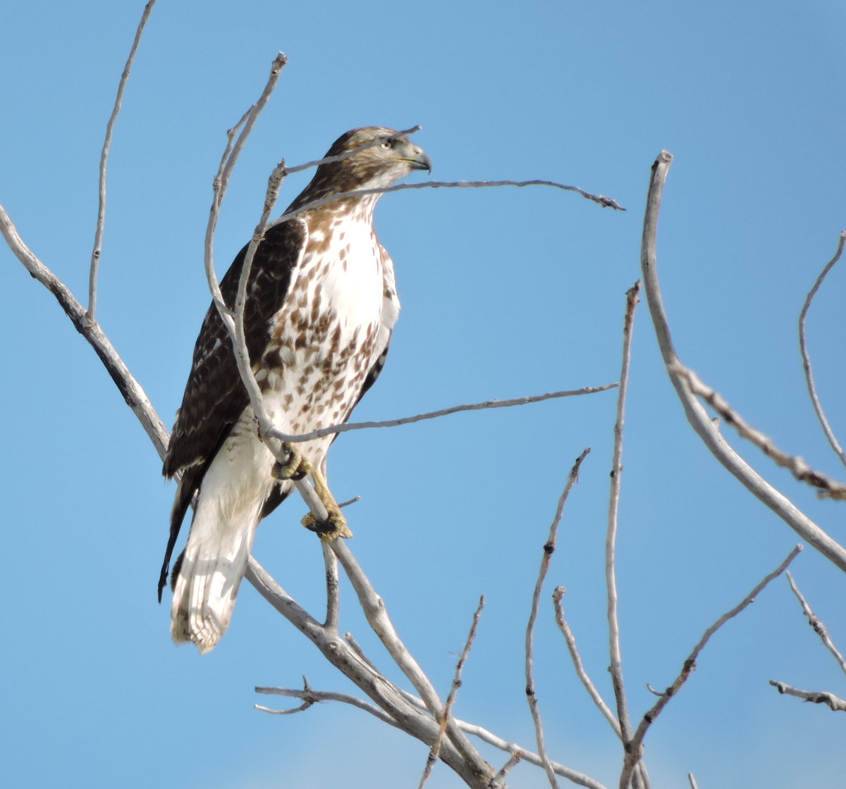 Red Tailed Hawk Subspecies Help Me Identify A North American Bird Whatbird Community