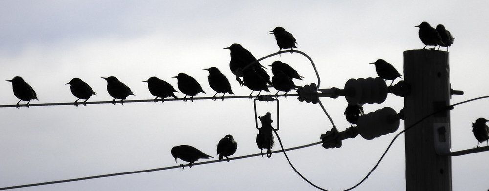 Starlings on a Wire.jpg