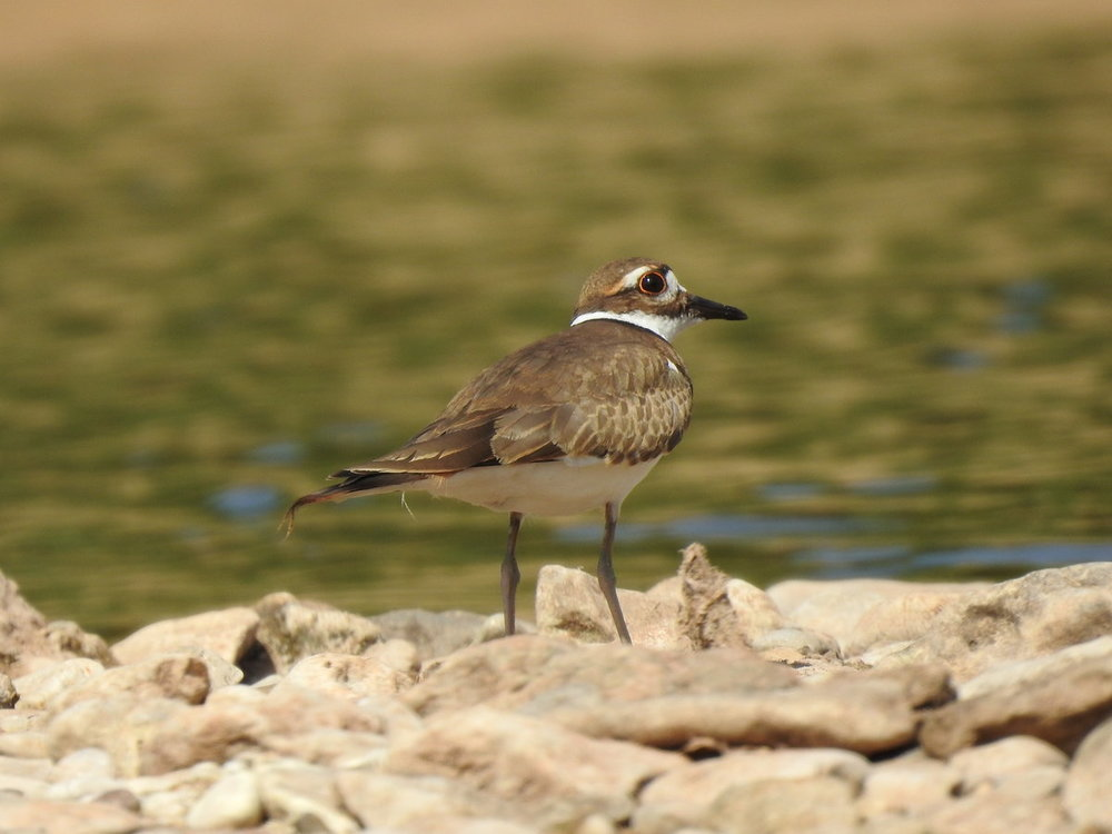 killdeer (5).JPG