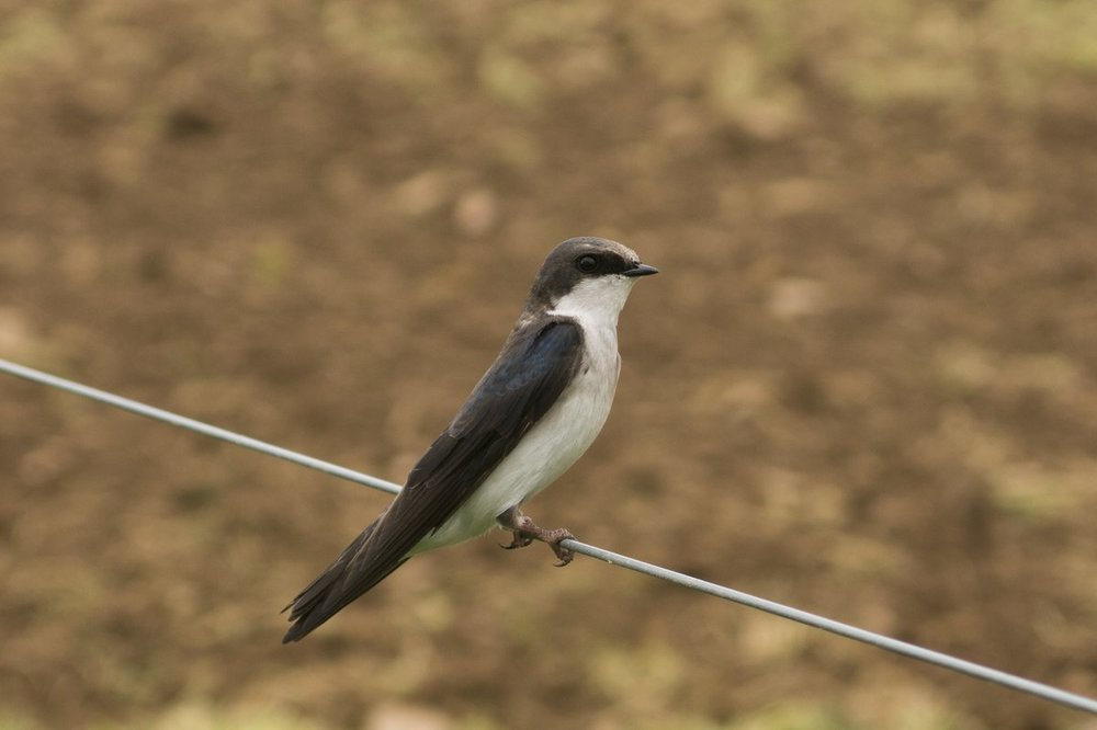 Tree Swallow.jpg
