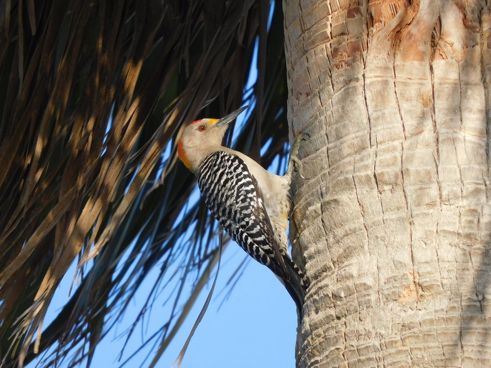 Golden-fronted Woodpecker.JPG