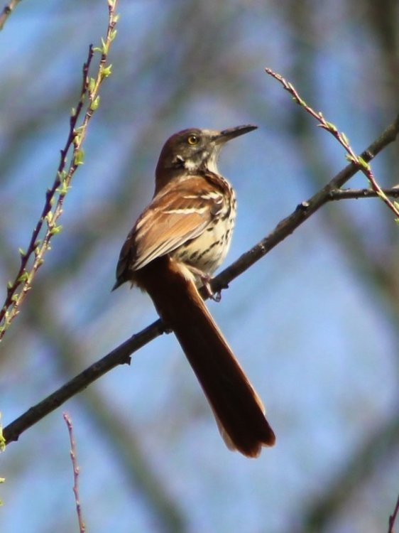 1521760781_BrownThrasher.thumb.JPG.ae9875d1eb4329fee38ce614959040e3.JPG